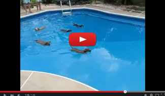 Dachshund-Water-Race