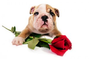 English bull dog puppy with a red rose