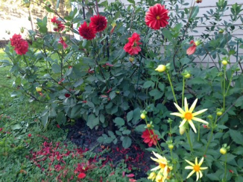 Flowers--Dahlias red and yellow