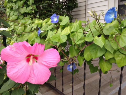 Flowers--Morning Glories and Hibiscus